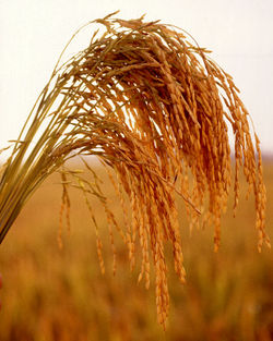 Mature seedheads of American long grain rice