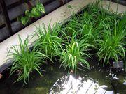 Rice plants (Oryza sativa) at Kew Gardens, London, England