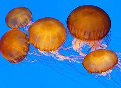 Sea nettles, Chrysaora quinquecirrha
