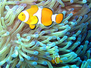 Clownfish in their Sea Anemone home