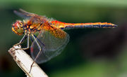 the Yellow-winged Darter