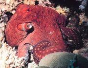 Big Blue Octopus