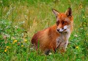 Vulpes vulpes, the red fox