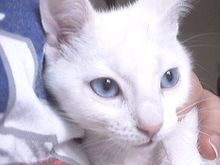 Blue-eyed cats with white fur have a higher genetic incidence of deafness.