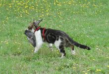 A cat carrying a caught pigeon