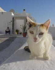 This Greek cat has light fur and green eyes.