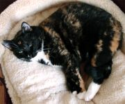 This Calico cat has black-brown-white fur and green eyes.
