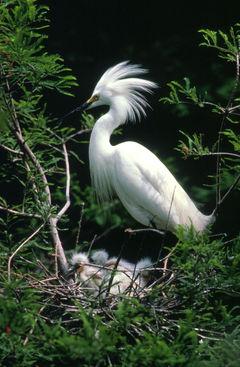 Snowy Egret, Egretta thula. Note the chicks in the nest.