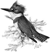 Belted Kingfisher(Ceryle alcyon)