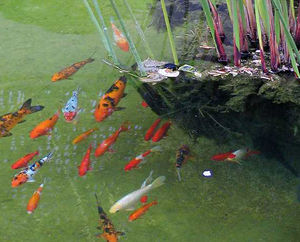 A group of several varieties of Koi.