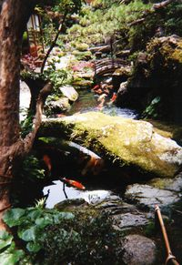 Traditional Japanese garden with koi.