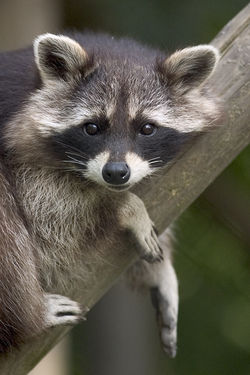 Common Raccoon