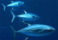 Yellowfin tuna, Thunnus albacares